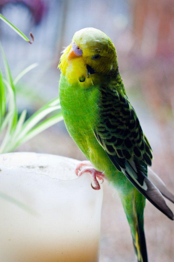 Cooper S Cuties Budgies Best Pet Birds Pet Birds