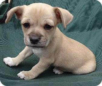 Marina Del Ray Ca Pug Dachshund Mix Meet Teddy A Puppy For