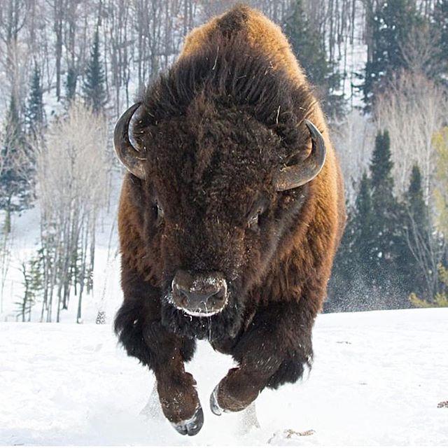 Great American Beast Bilder Dyr Boffel