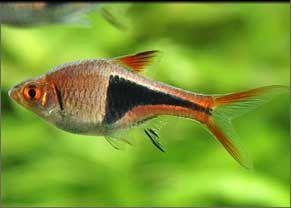 Le rasbora arlequin trigonostigma heteromorpha est une for Poisson tetra rouge