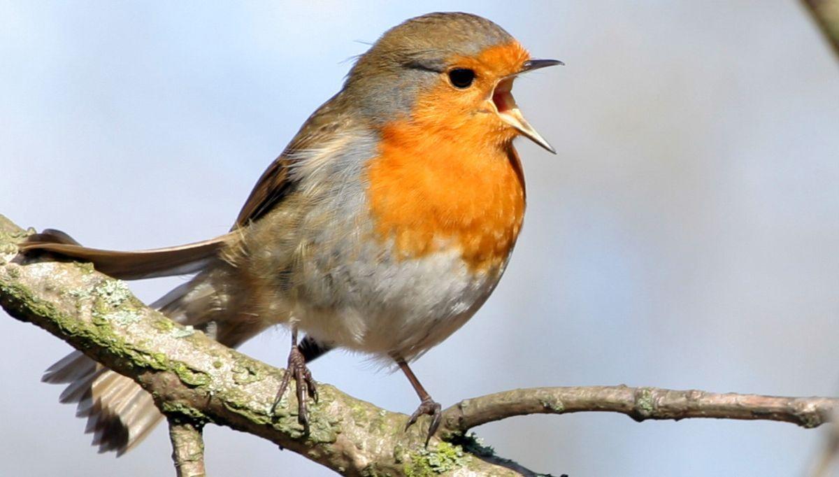 bestimmen sie deutschlands singvögel mit vogelstimmen