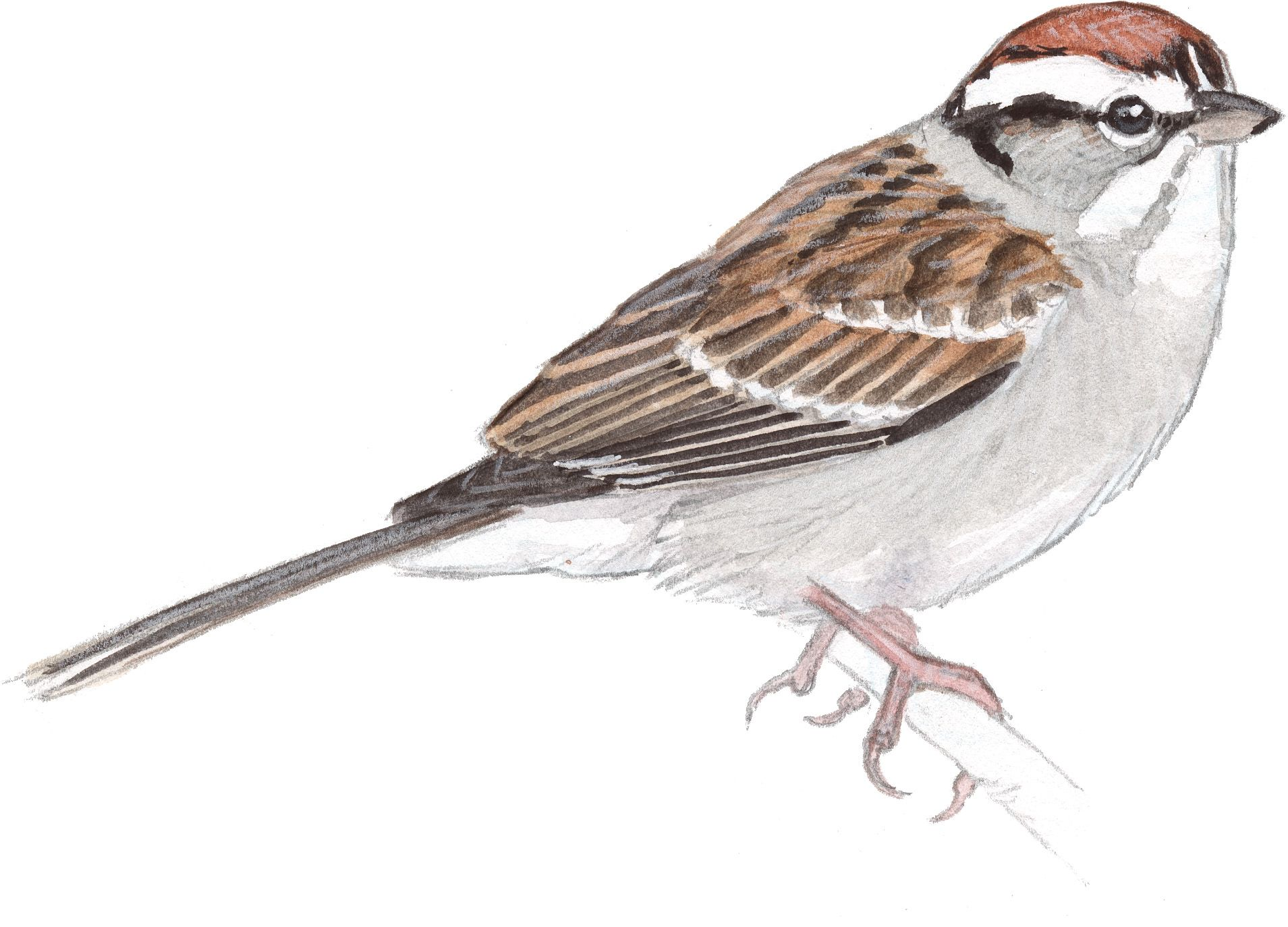 Chipping Sparrow - John Muir Laws | Art | Pinterest | Bird ...