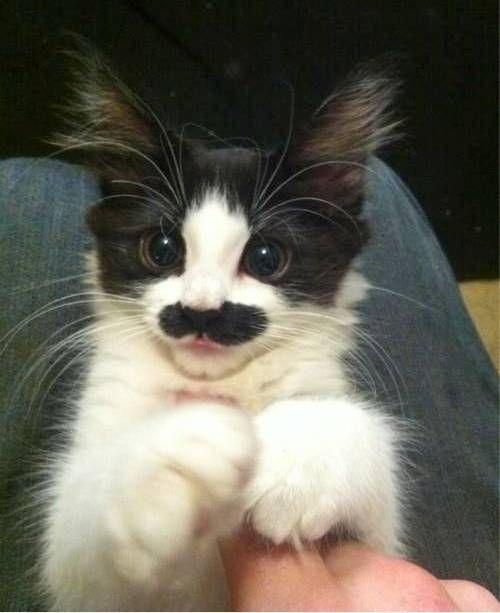 10画像 生まれながらの男爵ネコ ヒゲのネコ達: 新・あに丸ズッキーニ