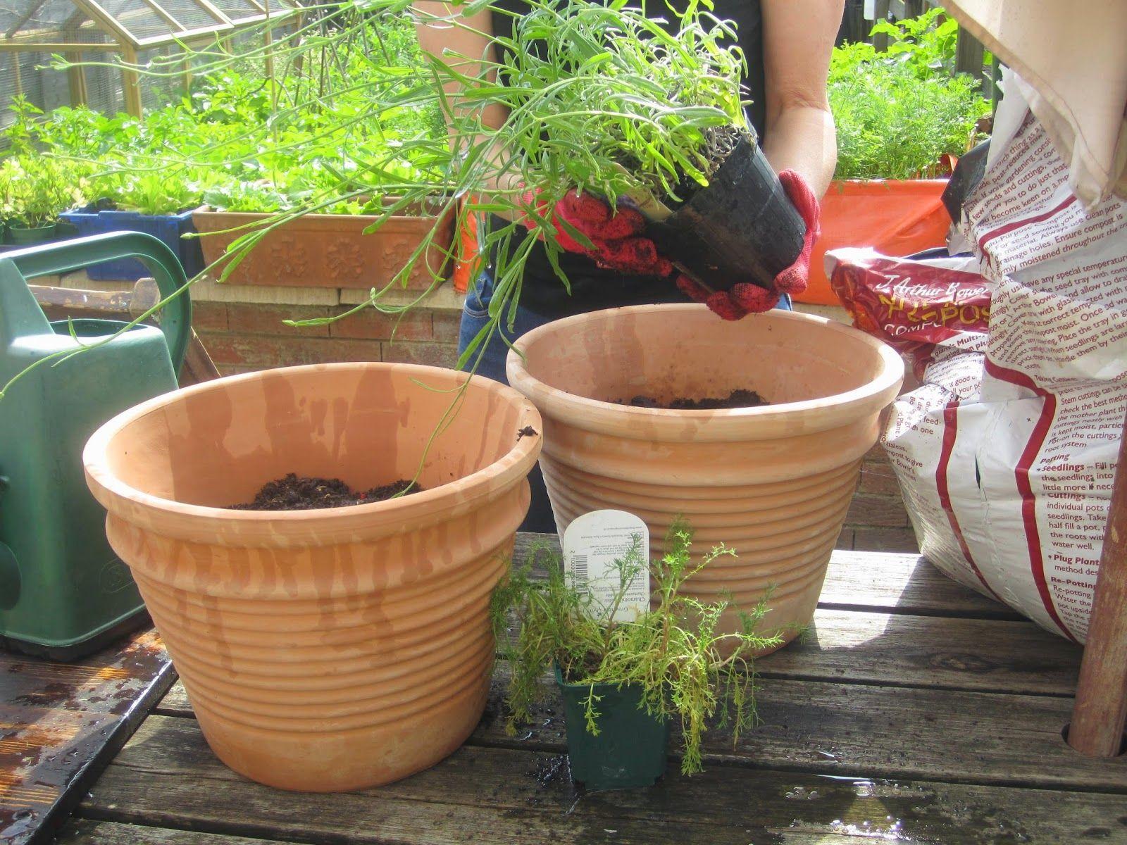 The Grey Hair Granny: Making Chamomile Tea