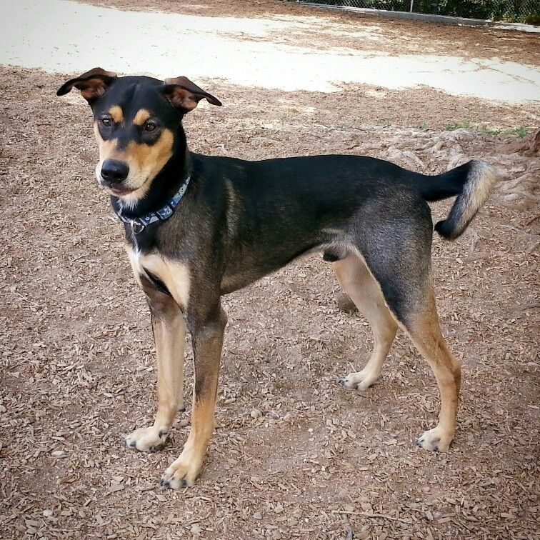 Australian Shepherd X Doberman Pinscher Mix With Images Dog