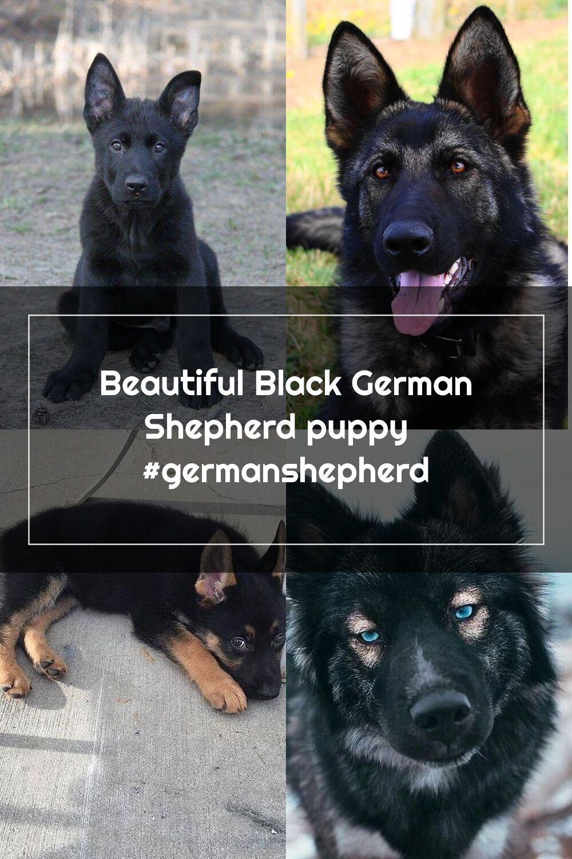 Beautiful black german shepherd puppy germanshepherd in