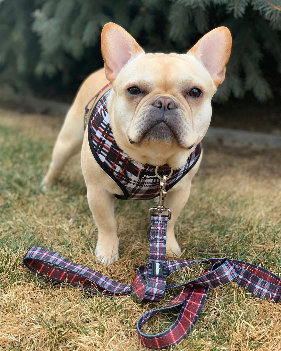 Pin by frenchiestore®️ on Frenchiestore Health Harness