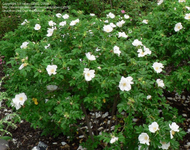 rosa rugosa alba tough as nails kinda sprawly maus. Black Bedroom Furniture Sets. Home Design Ideas