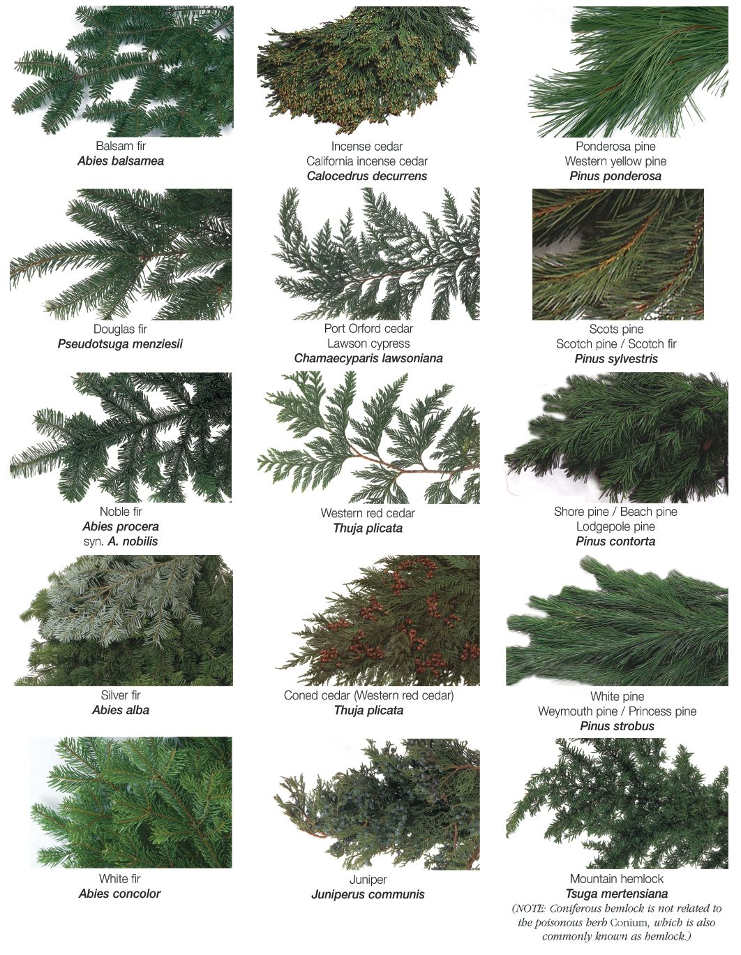 Different types of christmas trees pictures - Find This Pin And More On Holidays Types Of Evergreen Trees