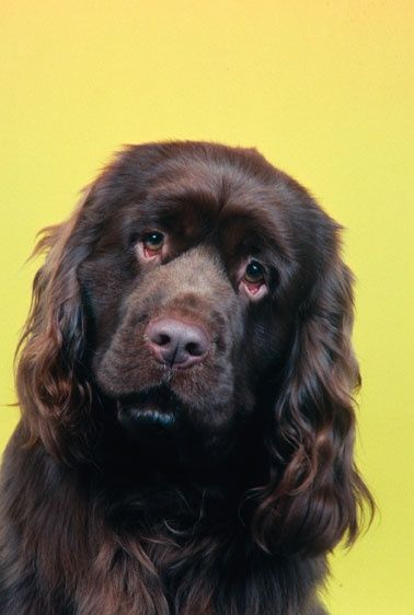 Love this dogs face | Sussex spaniel, Dog breeds ...
