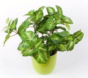Arrowhead Plant Is A Member Of The Araceae Family Along