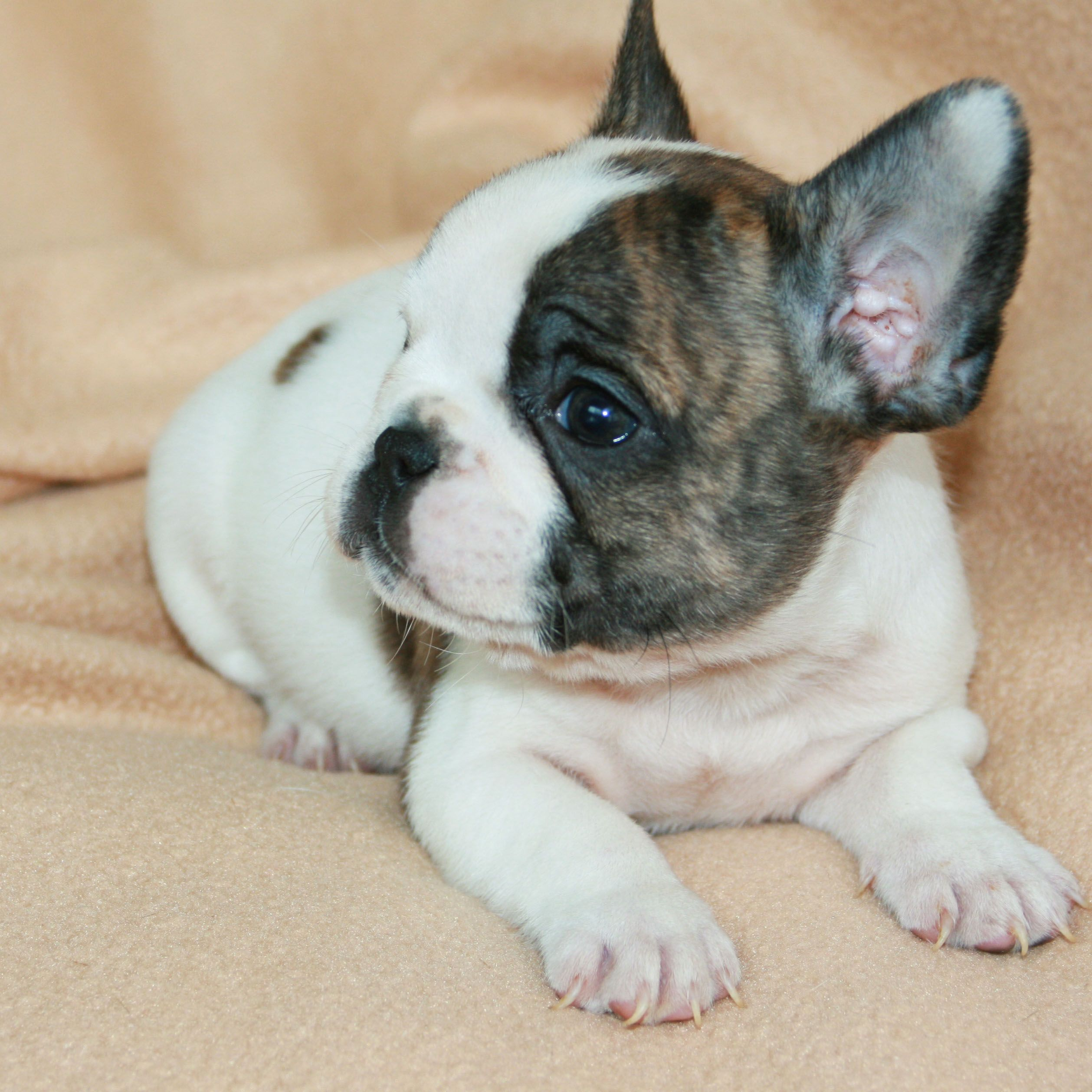 primary17 New French Bulldog Puppies Wallpapers Free