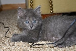 Adopt Tucker On Petfinder Russian Blue Cat Russian Blue Cats