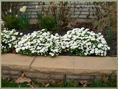 Candytuft An Easy Year Round Garden Beauty Front Yard Flowers Grasses Landscaping Outdoor Plants