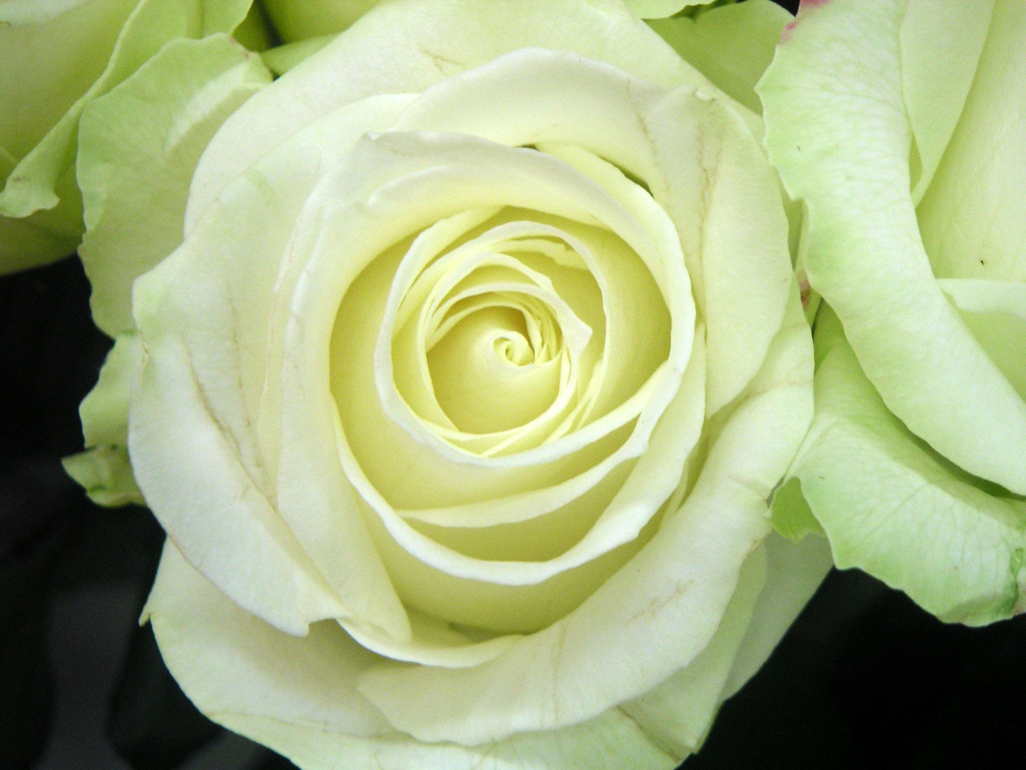 Avalanche is a white rose with a slight green tint depending on ...