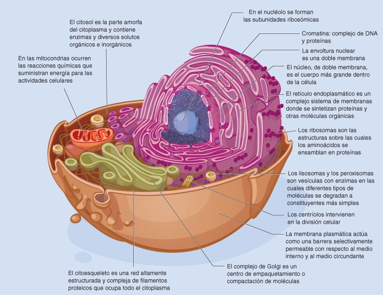 Células Eucariota Animal Cells Project Science Club Biology