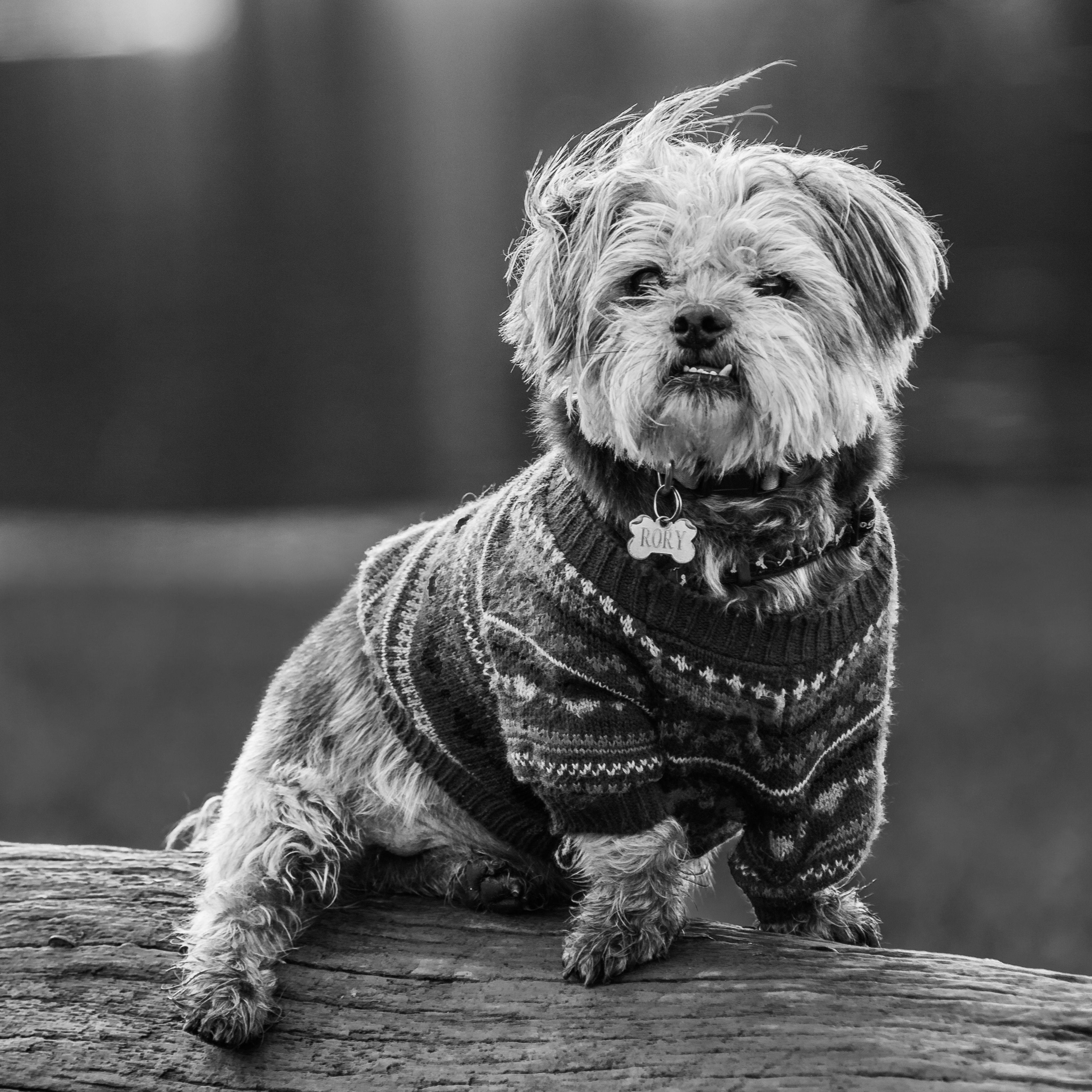 Black And White Pet Portraiture The Dog Is A Malchi Breed White Dog Photography Black And White Dog Pet Portraiture