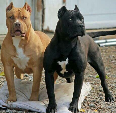The Truth About The All Black Pitbull Meowlogy Perros Agresivos Perros Enormes Perros Peligrosos