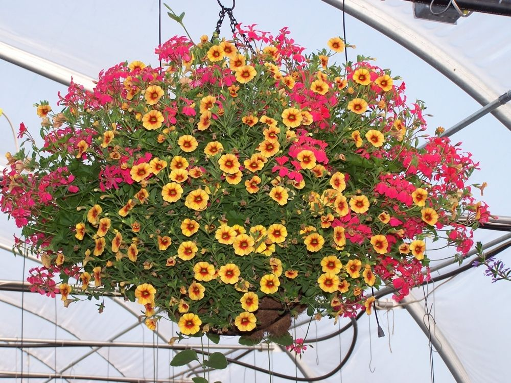 Hanging Flower Basket Supplies : Large or quot moss hanging basket with pink mini cascade
