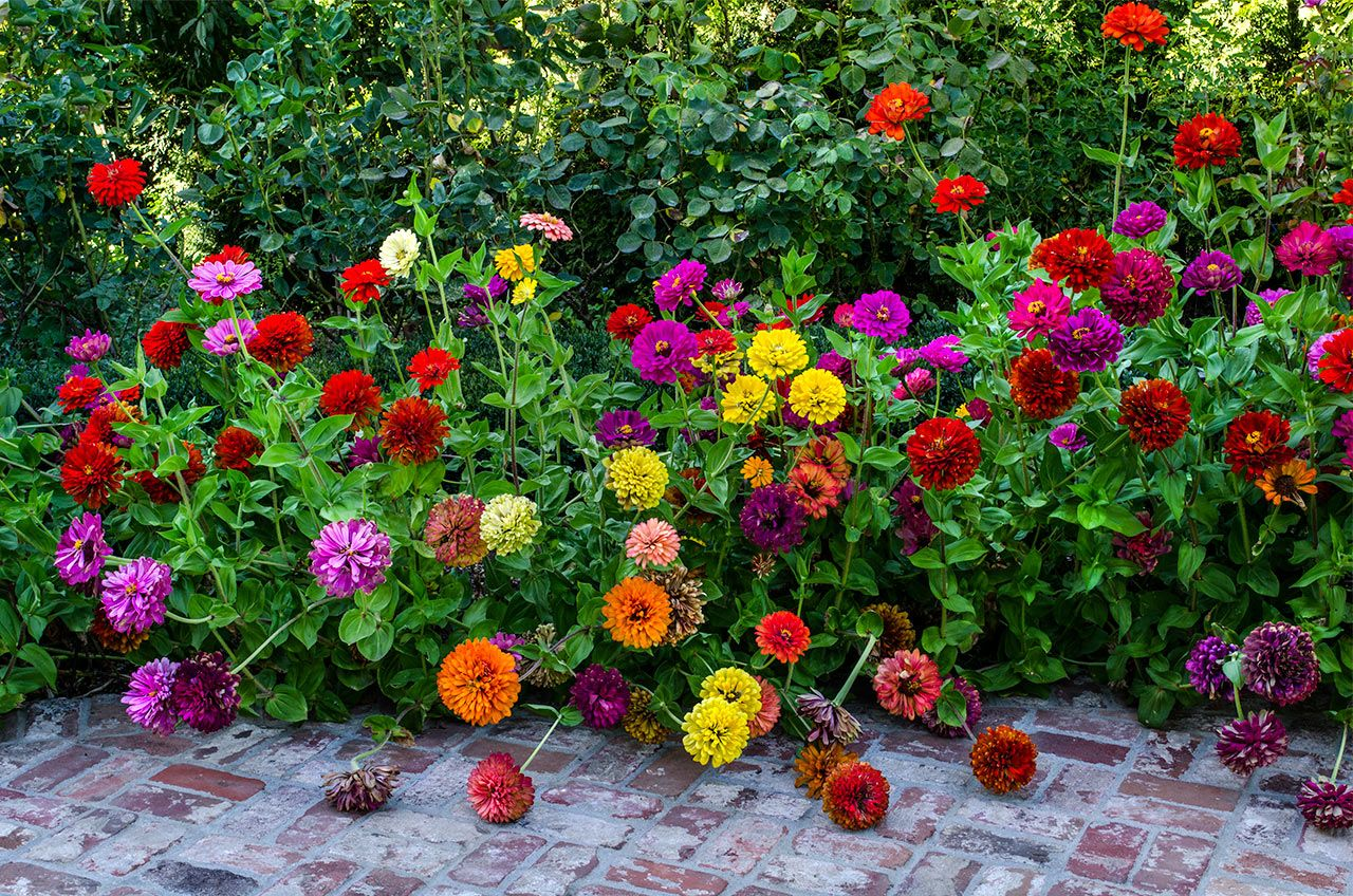 Roses In Garden: State Fair, Giant, Mixed Colors