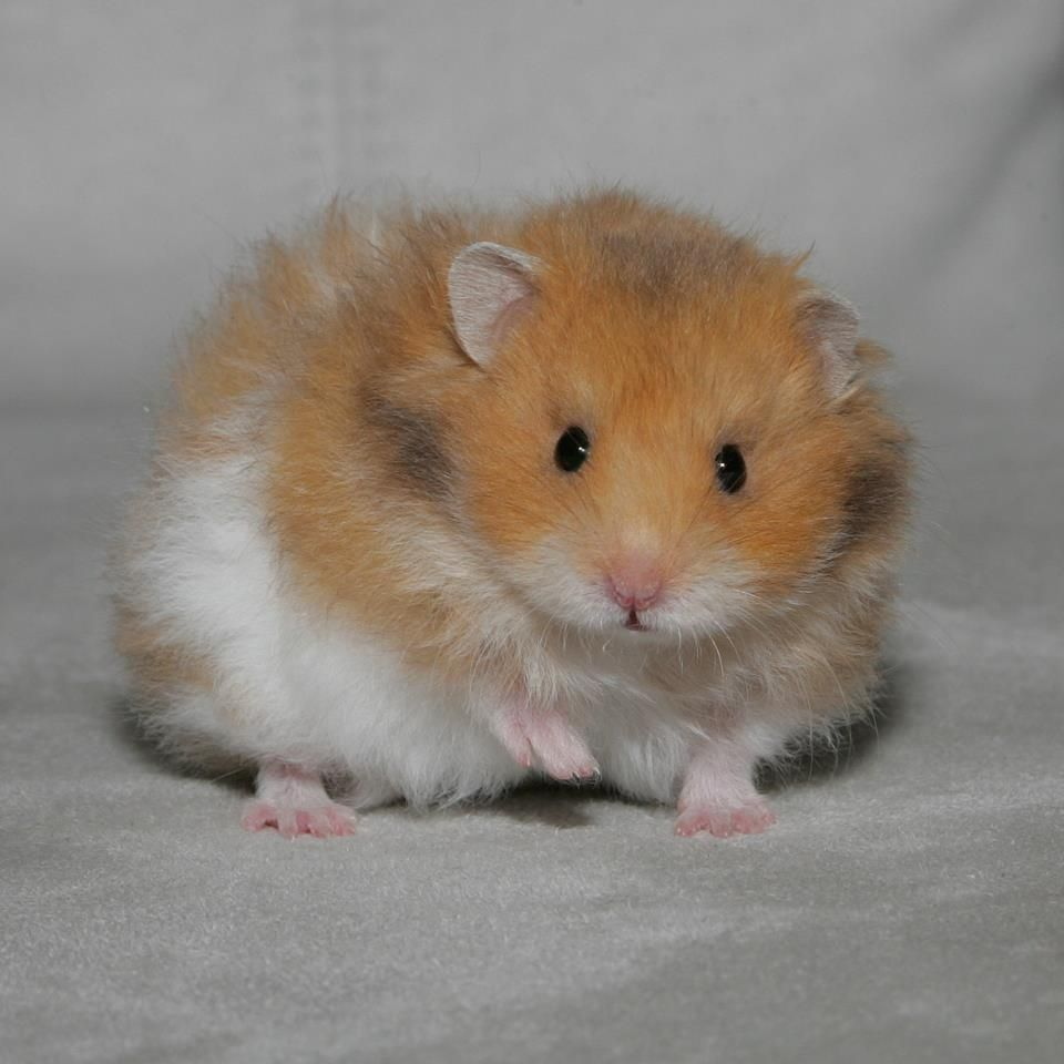 Syrian Puppy Syrian Hamster Hamster Cute Hamsters