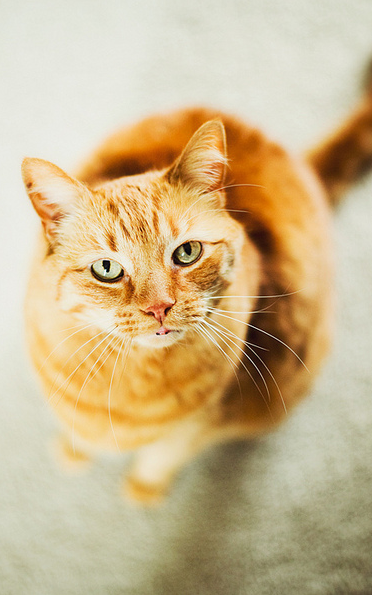 Orange cat (Foster, Mrs. P's cat)