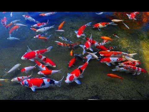 Koi Fish Feeding Pond Koi Carp Fishpond Hd Koi Fish For Sale Koi Fish Pond Animals
