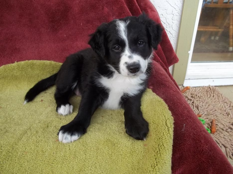 Purebred Border Collie Puppies For Sale Collie Puppies For Sale