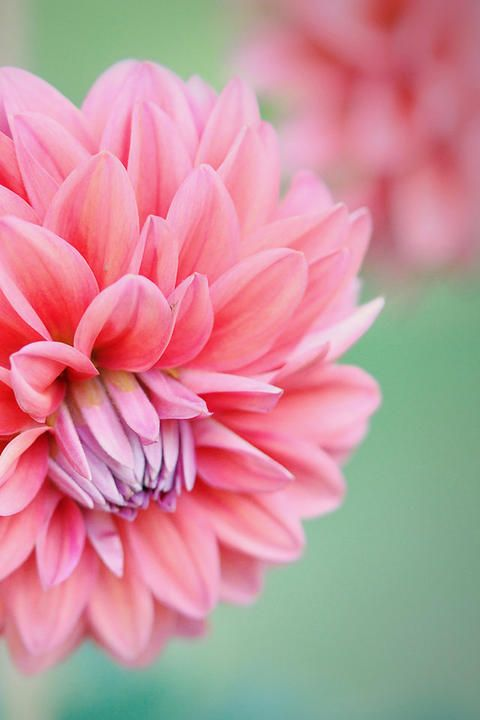 Pin By Hanna Liao On Photography Flower Meanings Dahlia Flower Peony Flower Meaning