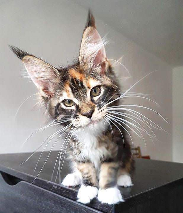 Is Feisty Have A Pretty Kitten Kittens Cutest Cats Kittens