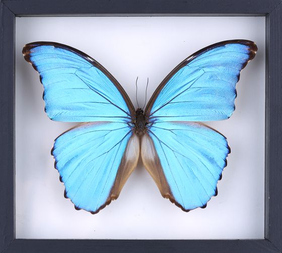 Morpho Butterfly Real Blue Frame Giant Didius Mounted Insect Wings Taxidermy