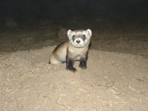 The black-footed ferret is one of the most endangered mammals in North America, but new research suggests that these charismatic critters can persist if conservationists think big enough.