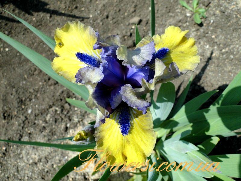 Magnetic Storm iris