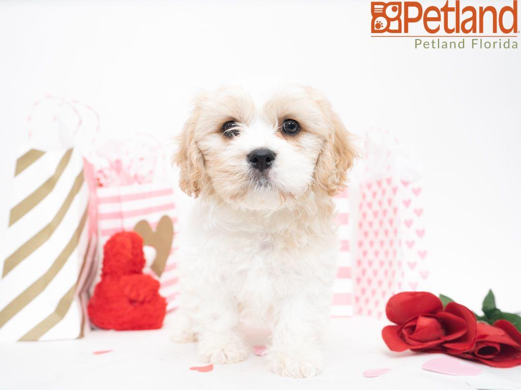 Puppies For Sale Puppy Friends Cavachon Cavachon Puppies