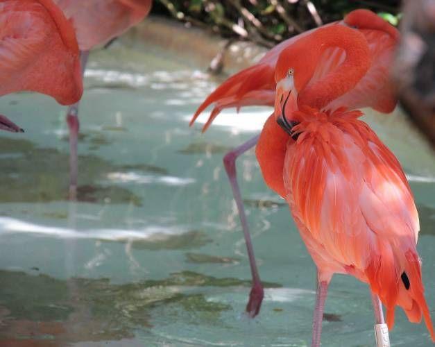 Los flamencos rosados son un atractivo más para la Isla de Cozumel. (Julian Miranda)