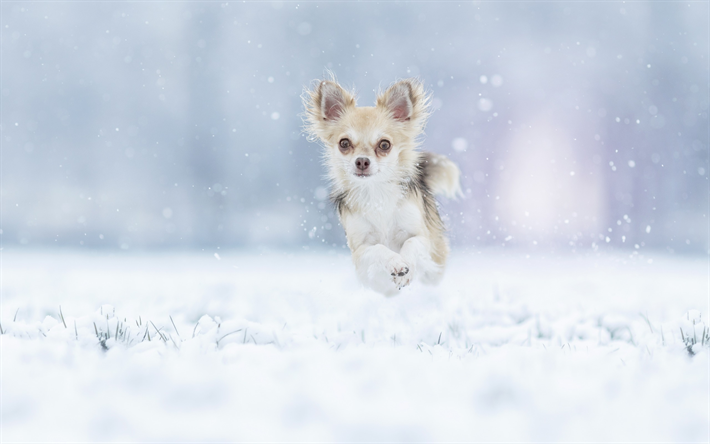 Download Wallpapers Chihuahua Winter Small Dog Snow Running Dog Domestic Dogs Dog Breeds Besthqwallpapers Com Chihuahua Dogs Dog Wallpaper Chihuahua