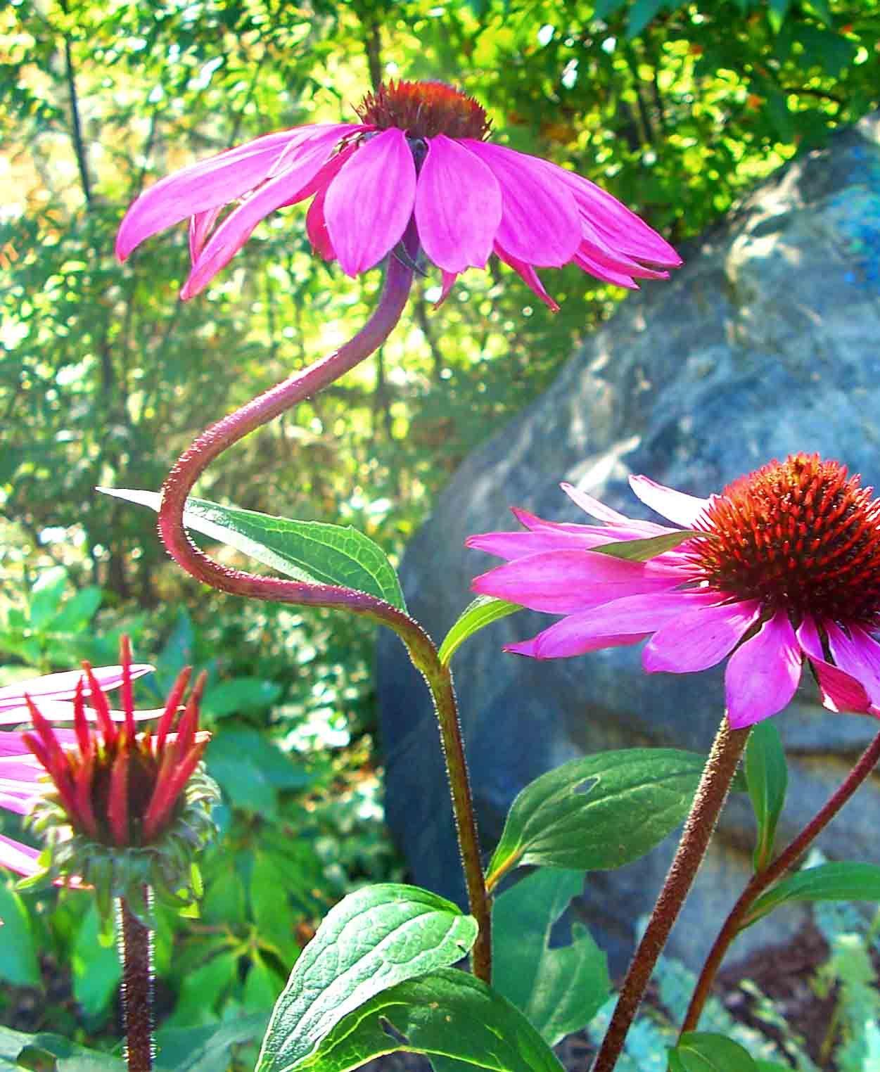 Echinacea....okay, okay, purple cone flower...