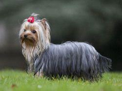 Yorkshire Terrier Petits Chiens Races Pinterest Chiens