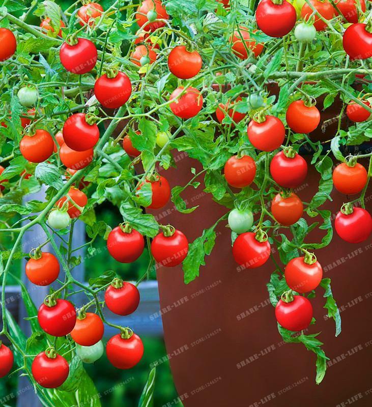 Visit To Buy 100Pcs Tomato Seeds Rare Mini Climbing 400 x 300