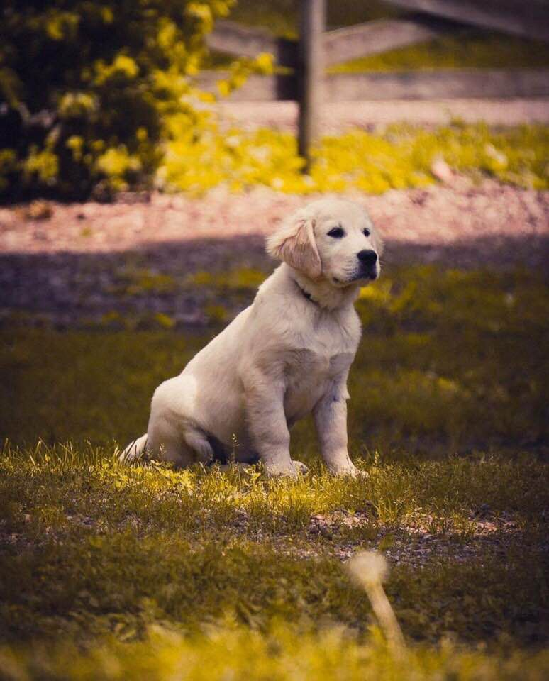 Is Your Home A Forever Home English Golden Retrievers Dogs