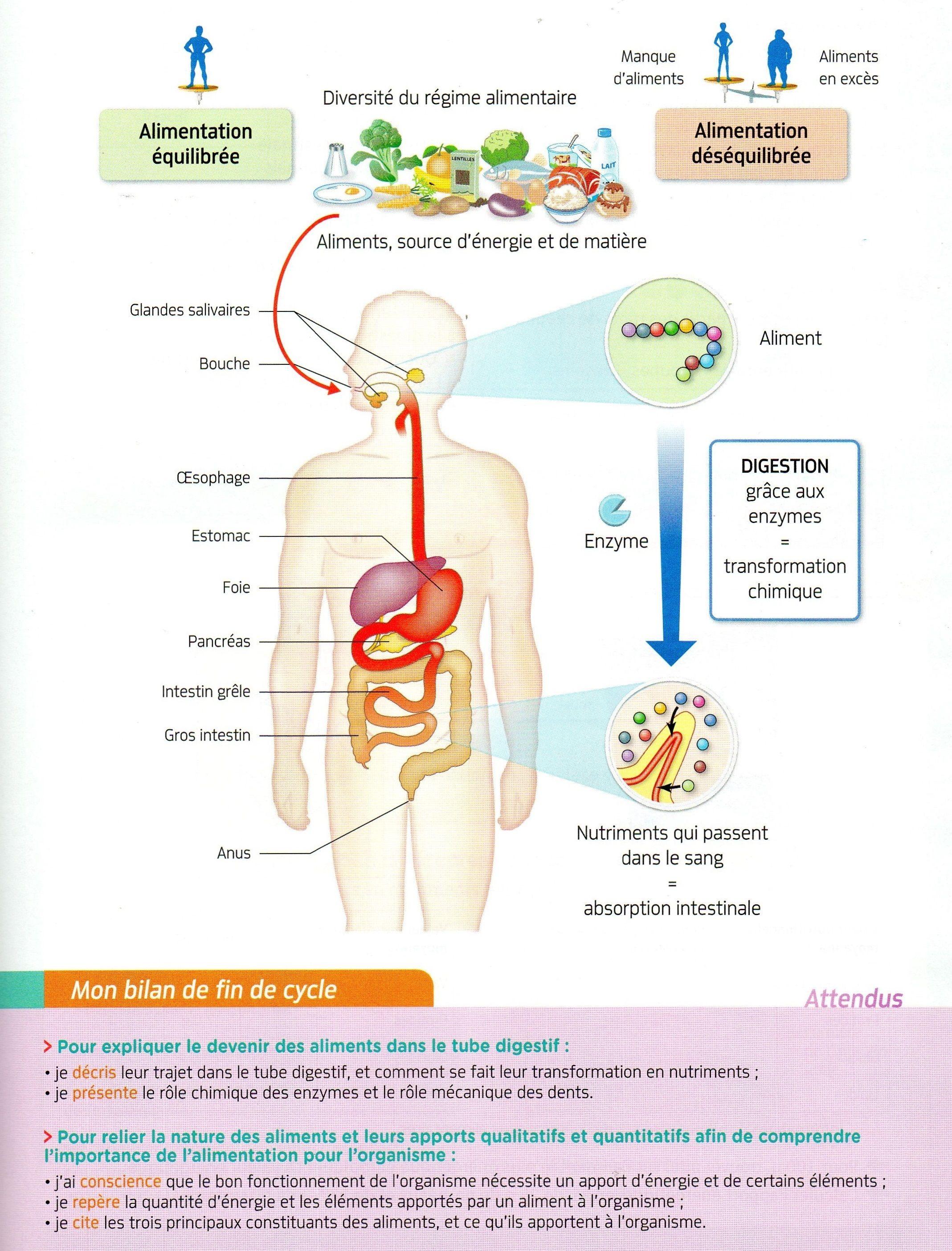 Le Corps Humain Et La Sante : corps, humain, sante, Thème, Corps, Humain, Santé., Alimentation, Digestion.jpg, (2137×2808), Education