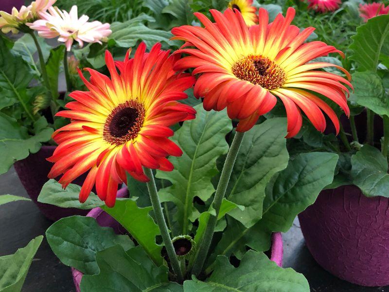 Pin By Dipankar Dutta On Stuff To Buy Gerbera Daisy Gerbera Plants