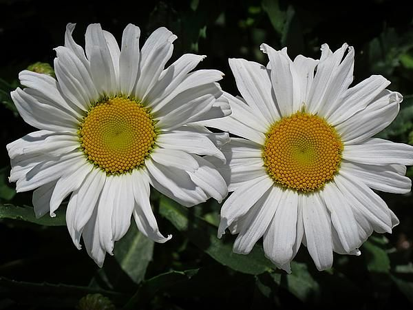 Two cheerful shasta daisies with bright white petals and yellow two cheerful shasta daisies with bright white petals and yellow centers captured growing in mightylinksfo