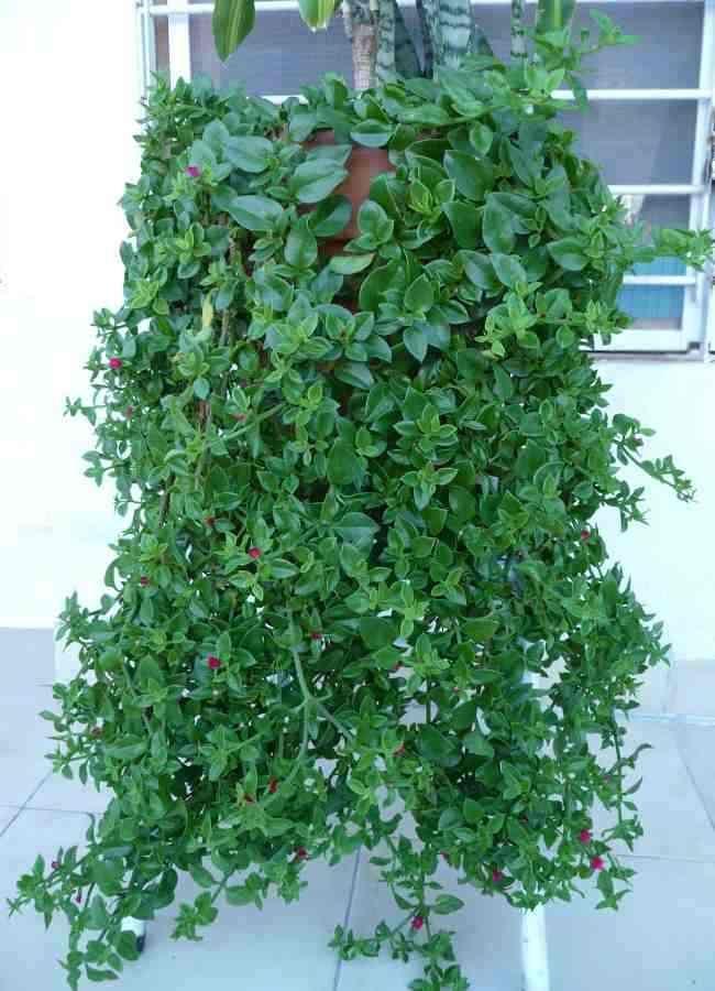 Decoraci n de jardines aptenia cordifolia o rocio for Jardineria exterior con guijarros
