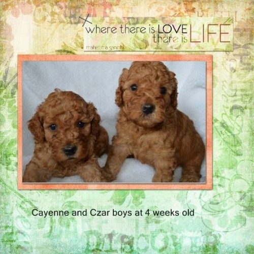 Labradoodles And Australian Labradoodles Bred In Texas Labradoodle Goldendoodle Breeders Labradoodle Goldendoodle