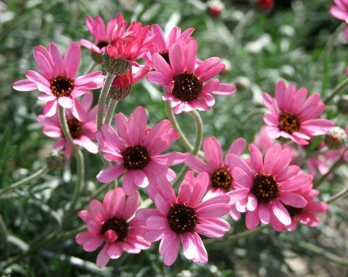 Rhodanthemum Pretty In Pink Garden Plants Garden Inspiration Flowers