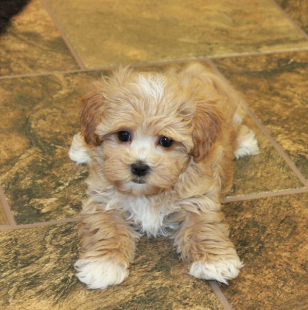 We have adorable maltipoo puppies available... www