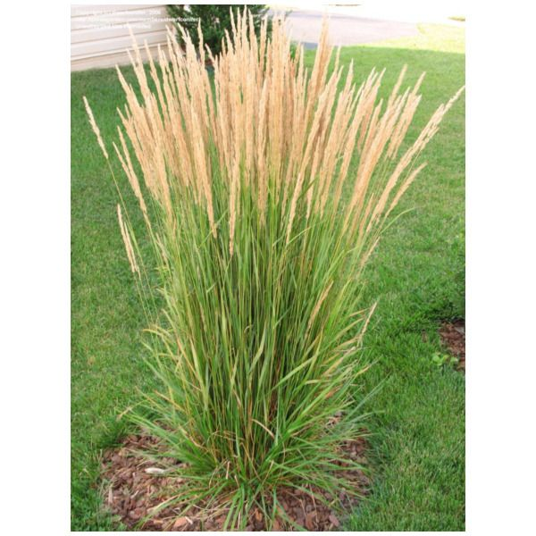 Perennial grass erect arching clump 2 3 39 tall feathery for Ornamental grasses with plumes