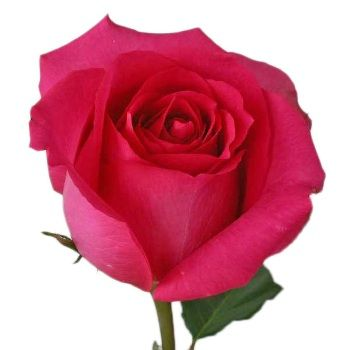 Shocking Versilia Hot Pink Rose With Images Hot Pink Roses