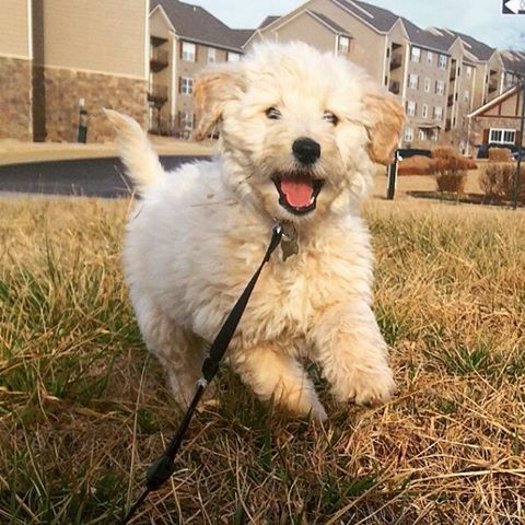 Photos Of Our Past Goldendoodle Puppies With Forever